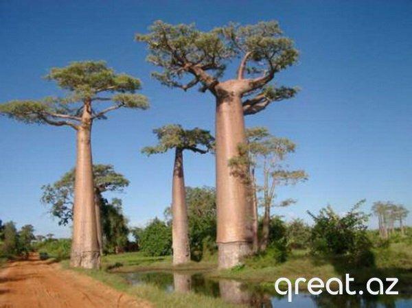 10 ən qeyri-adi ağaclar (10 Foto)