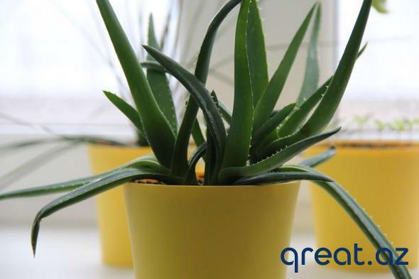 7 ev bitkisi, hansılar ki, evə pozitiv energetikanı gətirəcəklər