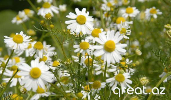 Bitki-antiseptiklər: xalq tibbinin reseptləri